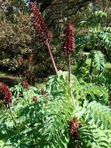 Melianthus major Honey Bush Young Plant 9cm Pot x 3 Pots