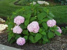 Hydrangea Summer Shrubs & Hedges