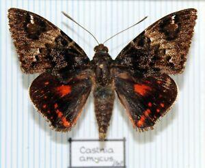 Schmetterlinge - butterflies - Sammlerexemplare gespannt - CASTNIIDAE No.13