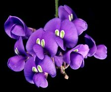 10 Samen Austr. Blauregen - Hardenbergia comptoniana - Ranker - Wisteria - seeds