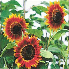 SUNFLOWER 'Evening Sun' 20 seeds UNUSUAL flower garden orange mahogany EASY GROW