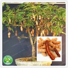 Tamarind Bonsai Seeds Decoration Plant Fruit Tree Bonsai Vegetable Garden 10 Pcs