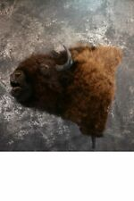 SKU 1253 Bison Taxidermy mount Huge and Massive Buffalo