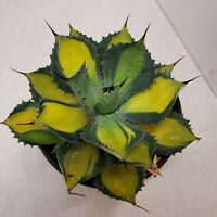 Rare beautiful Agave isthmensis cactus cacti succulent live plant