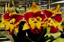 Cattleya (BLC) Sun Fire Splash (Giga) Duft XL Pflanze Orchidee Orchideen