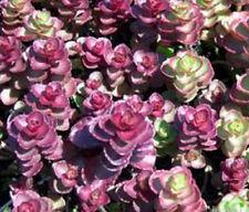 FD1661 Stonecrop Seed Sedum linn Garden Flower Seeds Rare ~1 Pack 50 Seeds~ G