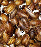 DUBIA ROACHES *TOP QUALITY GUARANTEED* My Dubias are fed with High Protien Feed