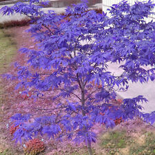 10 pcs/lot Rare Blue Maple Seeds Bonsai Japanese Maple Seeds Decor Garden R D2W8