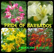 Caesalpinia Pulcherrima PRIDE OF BARBADOS Mexican Exotic Flower Seeds-10 pcs