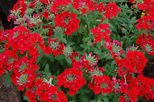 50 SCARLET VERBENA Red Nana Compacta Fragrant Flower Seeds *Combined Shipping