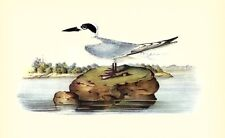JOHN JAMES AUDUBON 1937 BookPrint FORSTER'S TERN Art Birds of America Painting