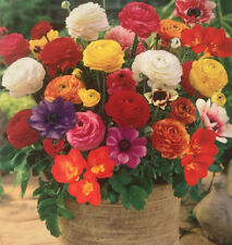 20 FLOWER BULBS SUMMER FREESIA,RANUNCULUS,ANEMONE FOR POTS AND HANGING BASKET