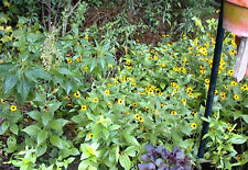 BLACKEYED SUSAN DAISY 100 + FLOWER SEEDS of MINI YELLOW PERENNIALS