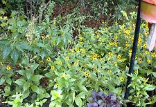 Blackeyed Susan Daisy 100 + Flower Seeds of Mini Yellow Perennials