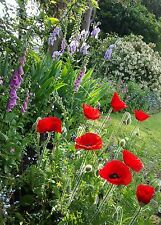 WILD POPPY SEEDS 500+ FRESH 2018  RICH DEEP LUSCIOUS  RED POPPIES.PAPAVER RHOEAS