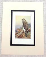 1929 Antico Uccello Stampa Astore Di Preda Ornitologia Vintage Wildlife Art