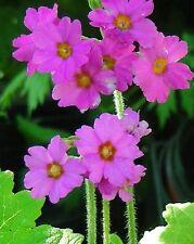 Primula Polyneura Seeds : Pink Himalayan Primrose