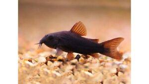 BLACK CORY CORYDORAS TROPICAL FISH VENEZUELAN CATFISH STUNNING