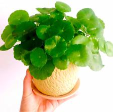 30 Pcs Seeds Hydrocotyle Vulgaris Aquatic Plants Money Grass Coins Bonsai 2020 D