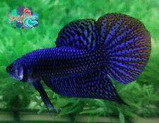LIVE BETTA FISH BREEDING PAIR M/F ELECTRIC BLUE WILD TYPE HYBRID ALIEN (WT15)