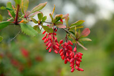 die Winterharte Berberitze - Vögel lieben die roten Beeren.