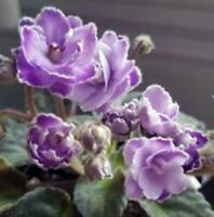 African Violet (Standard) Starter Plant in a 2 Ounce Pot Double Bi-color Flower