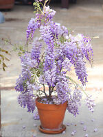 Chinese DWARF Bonsai Blue Violet Wisteria Flower Fragrant 20 SEEDS RARE