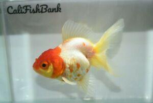 Live Fancy Orange Cream Ryukin Goldfish (Large Pond Fish)  *PLS READ DESCR*