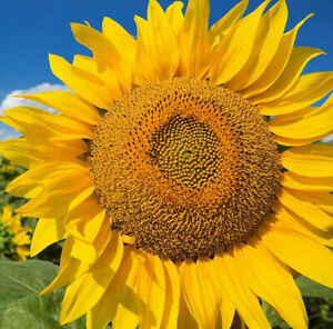 Mammoth Grey Stripe Sunflower Seeds | Huge Giant Sun Flower Russian Seed 2021