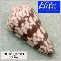 BIG! Conus zonatus 56.8mm RARE NEAR-GEM BEAUTY from the Maldives