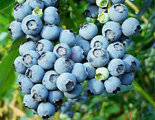 Delicious👍Massive Size😲Blueberry☝50-Finest Seeds👌👉One Bush 5-7kg✌UK Seller/