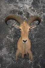 Sku 1525 African Aoudad Taxidermy Shoulder Mount Long Mane