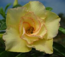 Adenium Obesum Desert Rose - CX Maithong - Perennial Bonsai Seeds (5)