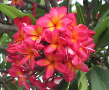 Sunburst Frangipani (Plumeria sp.) -10 Seeds HARVESTING NOW