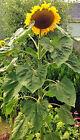 Riesensonnenblumen ! 30 Samen ! Sonnenblumen American Giant , Blüten bis 50 cm