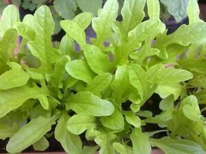 Lettuce 1770 Catalogna Cerbiatta Seeds - UK Seller
