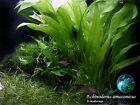 Amazonicus x 3 - Live Aquarium Plant Tank Aquatic.Magic