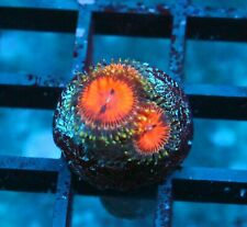 Big R Dexters Dates Zoas / Palys - Badass Frags Wysiwyg Live Coral Frag