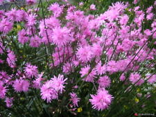 LYCHNIS JENNY ( NEW INTRO) .. WELL  GROWN ....9 cms POT