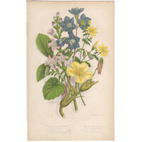 Anne Pratt antique 1860 botanical print Flowering Plants Pl 139 Jacobs Ladder