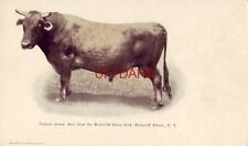pre-1907 JERSEY BULL FROM THE BRIARCLIFF DAIRY HERD, BRIARCLIFF MANOR, NY.