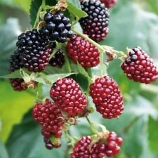 Boysenberry Mix Between Raspberry Blackberry Live Plant Garden Four 4 Plants