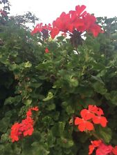 "ORANGE RED PELARGONIUM ZONAL GERANIUM FRESH LIVE PLANT 5 X 8"" STARTER CUTTINGS"