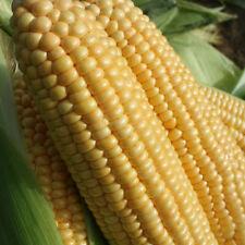 Kings Seeds - Sweet Corn Goldcrest - 50 Seeds