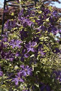 Clematis - Polish Spirit - viticella Waldrebe robuste Pflanze mit großen Blüten