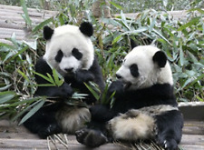 PANDA CUBS - 3D MOVING PICTURE 400mm X 300mm (NEW)