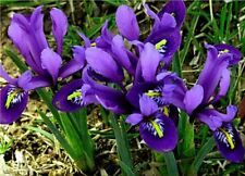 20 DWARF IRIS RETICULATA AUTUMN GARDENING BULE MAGIC BULBS CORM SPRING FLOWER