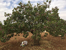 200 Seeds (7 OZ) Turkish Antep Pistachios GENUINE PISTACIA VERA Tree Seeds