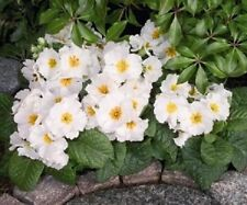 NEW! 15+ PRIMULA  WHITE PRIMROSE FLOWER SEEDS   PERENNIAL