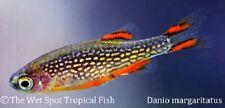 "(10) .5"" Celestial Pearl Danio TR Celestichthys margaritatus Live Tropical Fish"